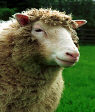 smug ass sheep